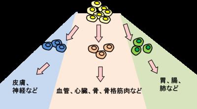 三胚葉.png