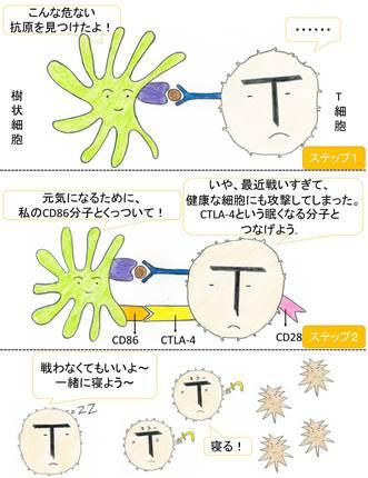 CTLA-4 抑制仕組みblog.jpg